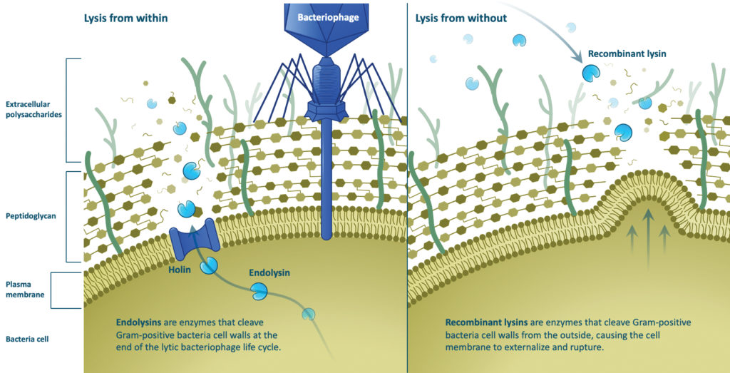 Describe the purpose of the image(opens in a new tab). Leave empty if the image is purely decorative.Title PhageResearch_CognitionStudio_LumenBioscience Caption Left: A phage infects a bacterial cell to initiate a progeny-producing process that culminates in the release of newly assembled phages. Key players in this process are phage lysins, which travel through holin—a small membrane protein also made by the phage—to reach the bacterial cell's peptidoglycan. Right: Lysins can kill antibiotic-resistant bacteria. Here, they attack a Gram-positive bacterial cell's peptidoglycan from the outside. Regardless of the direction the lysins' attack, peptidoglycan is cleaved. [Cognition Studio and Lumen Bioscience] Description Uploaded ByKathy VuksanajCopy Link https://sandbox.genengnews.com/wp-content/uploads/2020/07/PhageResearch_CognitionStudio_LumenBioscience.jpg Required fields are marked * Special Caption Displays on post templates where there is a large hero image Att. Categories